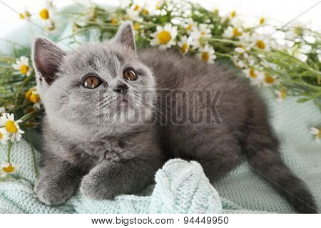 Cute gray kitten on plaid with chamomiles, closeup