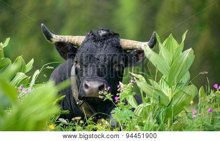 A Black Cow Head With Horns
