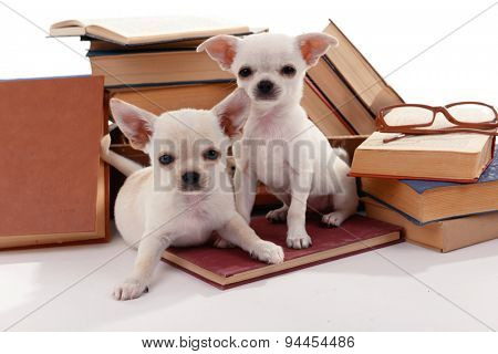 Adorable chihuahua dogs and heap of books close up