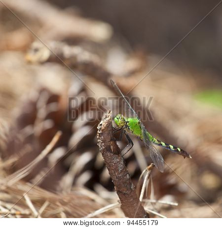 Hunting Dragonfly