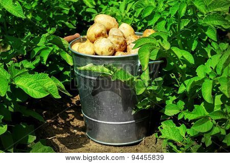 New potatoes in metal bucket over potato plantation