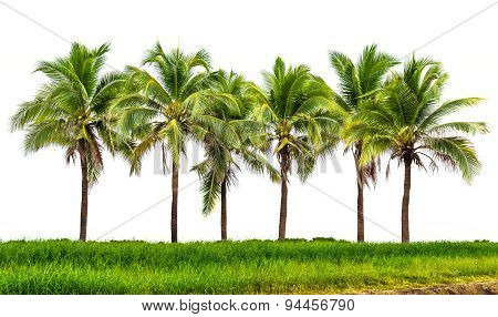 Coconut Tree Group