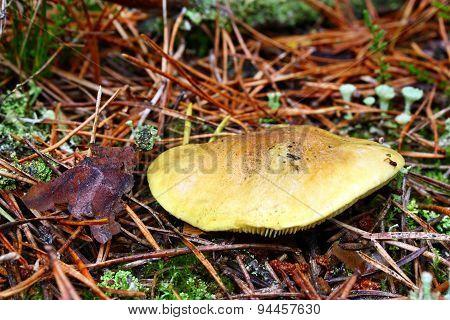 Mushroom Tricholoma Equestre