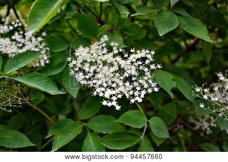 Blooming Elderflower (sambucus Nigra)