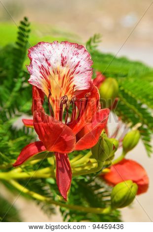 Scarlet Flower Of Mediterranean Acacia