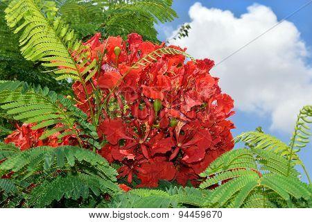 Scarlet Flowers Of Mediterranean Acacia