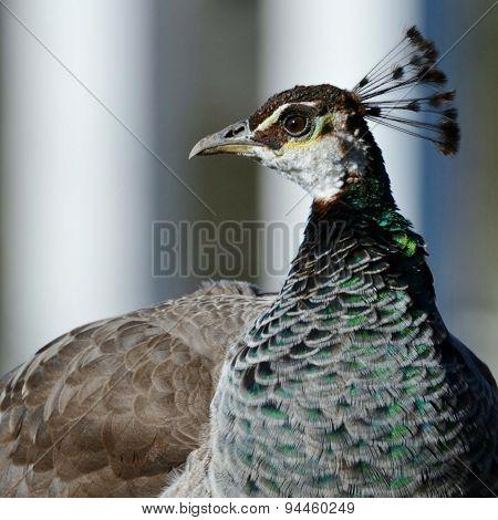 Indian Female Peafowl