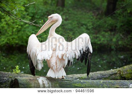 Pelican Spead Wings