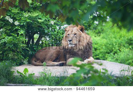 Lion Lies On A Stone
