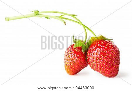 Two berry red strawberry on branch