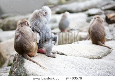Lousing Baboons