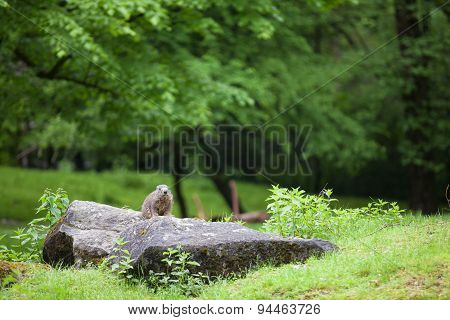 Marmot In Forest