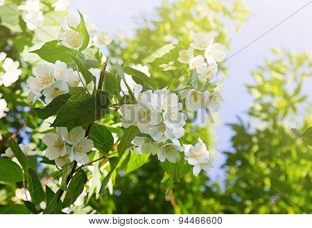 Blooming Jasmine Flowers