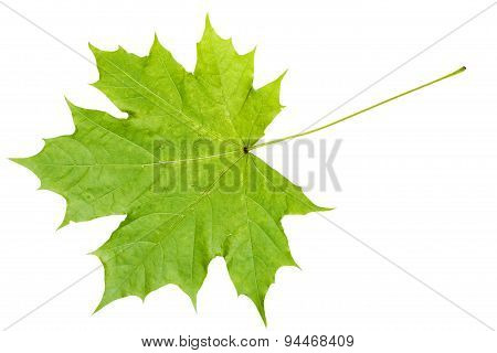 Rear Side Of Natural Green Maple Leaf Isolated