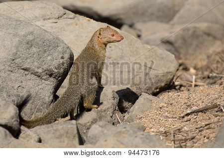 Slender Mongoose Forage And Look For Food At  Rocks