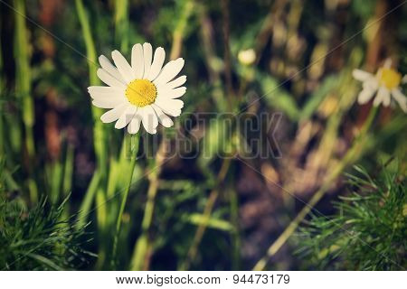 Lonely Daisy Against A Grass With Retro Effect