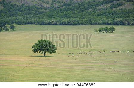 A Flock Of Sheep Near An Oak