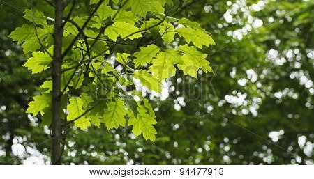 young oak leaves in summer day