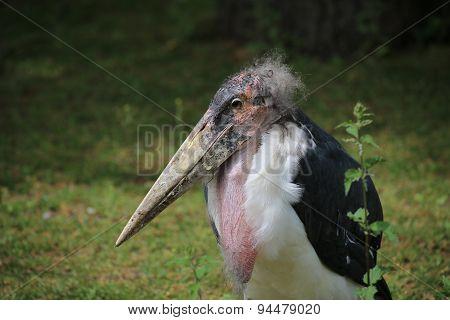 Marabou Stork Portrait