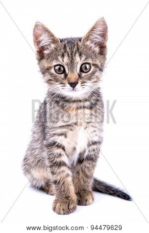 Small Gray Kitten Look At Camera Isolated On White Background