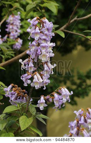 Princess Tree Blossoms