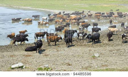Cows Drinking In The Water Of A Lake