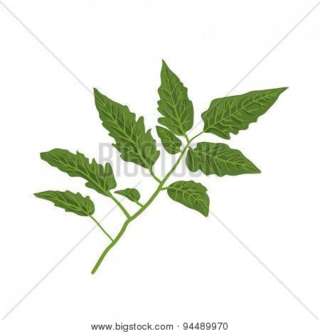 Tomato leaf, isolated on white, vector illustration