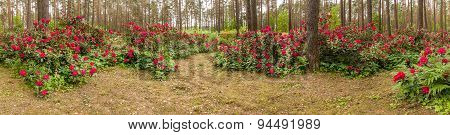 Panorama Rhododendrons.