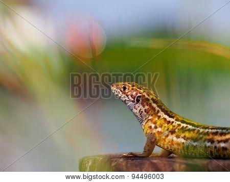 Sun lizard