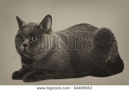 Beautiful Young Short-haired British Gray Cat