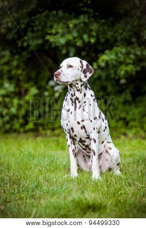 beautiful dalmatian dog posing outdoors