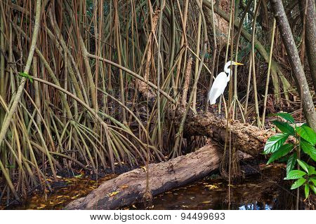 White Heron In Wild Tropical Forest, Mangrove Trees