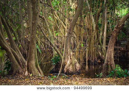 Mangrove Trees Growing In The Water