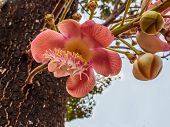 stock photo of cannonball  - Sala or Cannon Ball Cannon Ball Tree Sal Tree Sal of Thailand - JPG