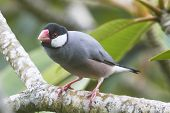 stock photo of java sparrow  - Java Sparrow Perched on a Plumeria Branch - JPG