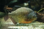 image of piranha  - Red - JPG