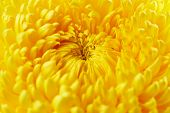 pic of chrysanthemum  - Beautiful yellow chrysanthemum flower close up - JPG