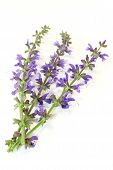 stock photo of purple sage  - blue sage flowers on a bright background - JPG