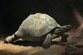 picture of tortoise  - Leopard tortoise  - JPG