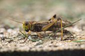 picture of locust  - Migratory locust  - JPG