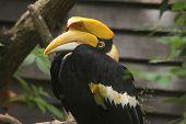 picture of rainforest animal  - Great hornbill  - JPG