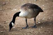 stock photo of canada goose  - Canada goose  - JPG