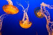 image of oceanography  - Multiple orange jelly fish floating on blue sea background - JPG