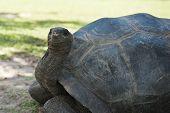stock photo of tortoise  - Aldabran seychelles giant tortoise - JPG