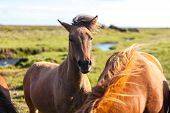 pic of iceland farm  - Horses in a green field of grass at Iceland Rural landscape. Horizontal shot ** Note: Soft Focus at 100%, best at smaller sizes - JPG