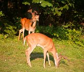 image of black tail deer  - One of the two whitetail bucks at the forest is eating - JPG