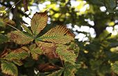stock photo of chestnut horse  - Close up of a leaf on a horse chestnut tree in Autumn - JPG