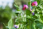 picture of sweet pea  - Photo flowering of sweet pea closeup outdoors - JPG