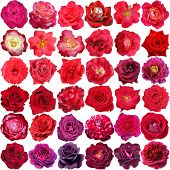 stock photo of purple rose  - Big collection of beautiful red and purple roses isolated on the white background - JPG
