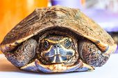 pic of carapace  - Turtle withdraw back it - JPG